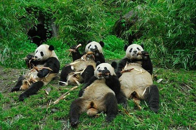 たむろするパンダ