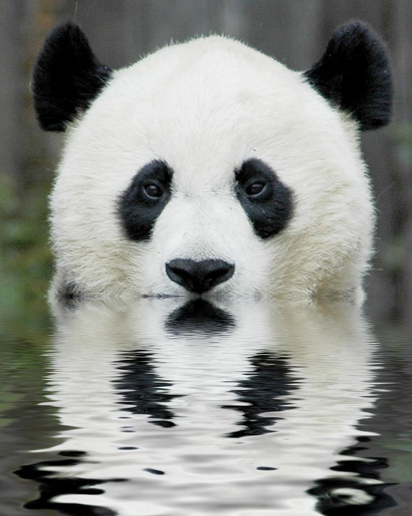 水から顔を出すパンダ