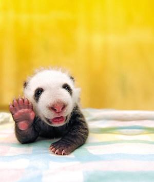 挨拶をするパンダ