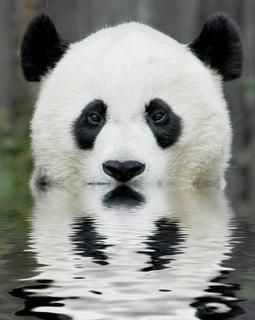 animal-picture-panda-bear-ucumari.jpg